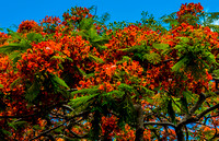Royal Poincianas